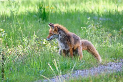 Wallpaper Mural Fox urinating in a field