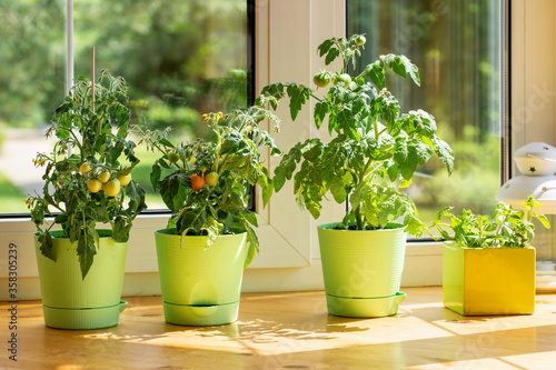 Stampa su Tela Bushes of cherry tomatoes grow in flower pots on the windowsill