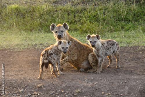 Female spotted hyena with her cubs, Masai Mara Game Reserve, Kenya Fototapet