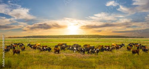 Fotografie, Obraz cow herd graze on a green rural pasure at the sunset, uotdoor countryside rural
