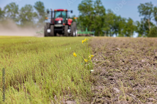 Fotografia Butterweed plant in farm field being tilled for corn planting season with tractor and cultivator in background