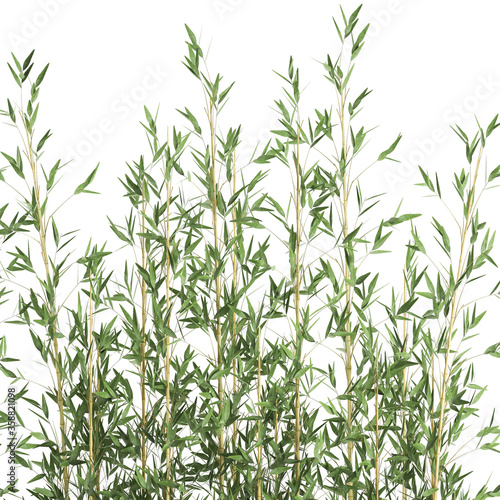 Canvas bamboo in a white pot isolated on white background