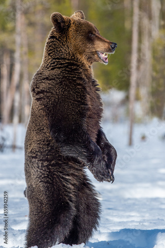 Fototapeta Brown bear with open mouth standing on his hind legs on the snow in winter forest