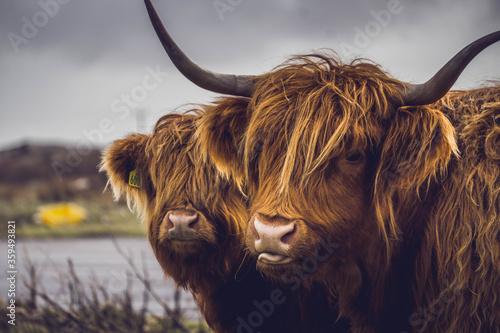 Fototapeta Highland cow and her baby, Isle of Mull, Scotland.