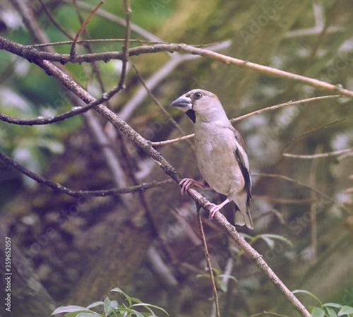 Fotografie, Obraz Female hawfinch perched