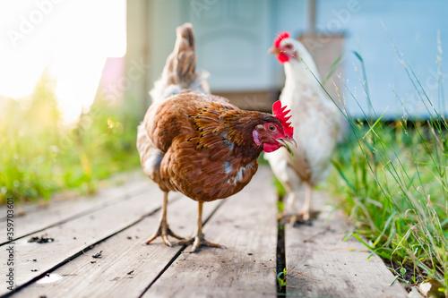 Obraz na płótnie The white chicken walks along the wooden deck in the garden