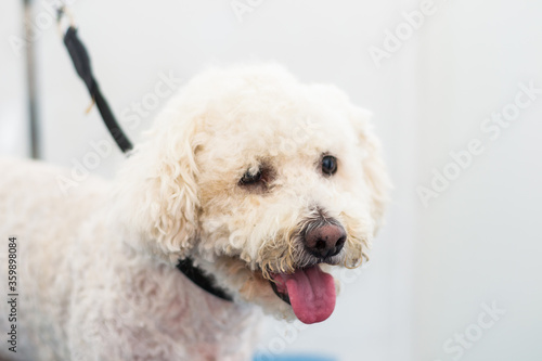 Valokuva senior dog Bichon with nose depigmentation at the salon