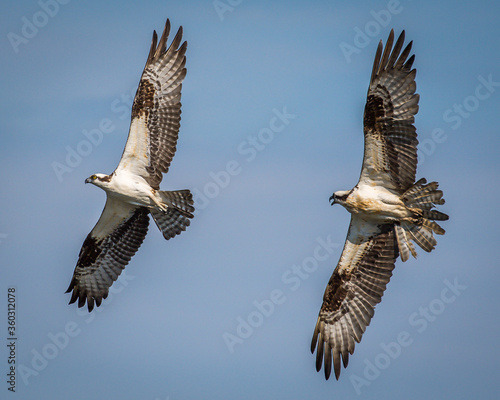 Canvas Two osprey in flight in a dogfight