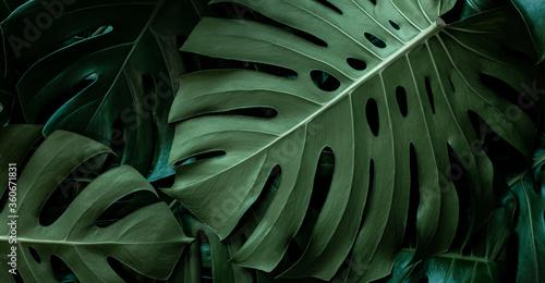 Fotografia, Obraz closeup monstera leaf background, tropical leaf, abstract green leaf texture