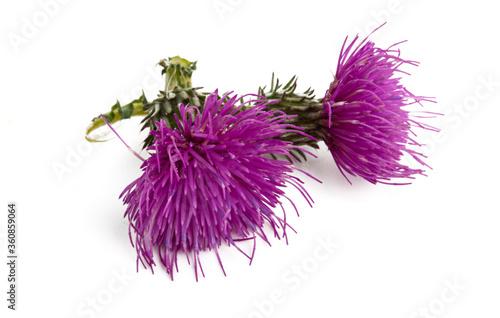 Obraz na płótnie burdock flower isolated
