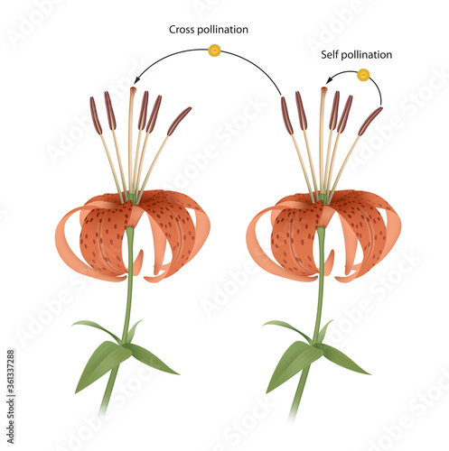 Fototapeta The process of cross and self pollination. Reproduction in Plant