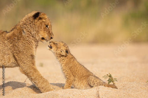 Fotografie, Obraz Young lion and small lion cub interacting in sandy riverbed in Kruger Park South