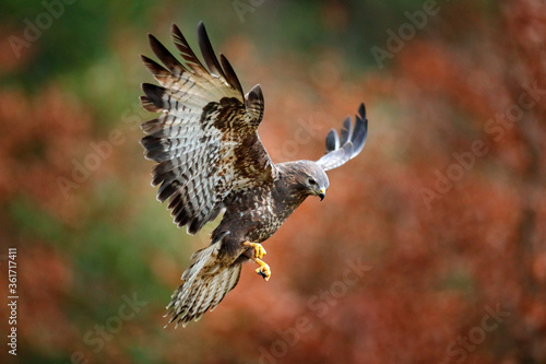 Valokuvatapetti Autumn wildlife, bird of prey Common Buzzard, Buteo buteo, flight on coniferous spruce tree branch