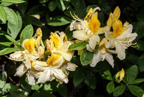 Fototapeta Azalea Mollis Hybrid 'Oxydol'  (Rhododendron x mollis) in garden