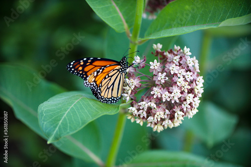 Carta da parati Monarch Butterfly on Milkweed