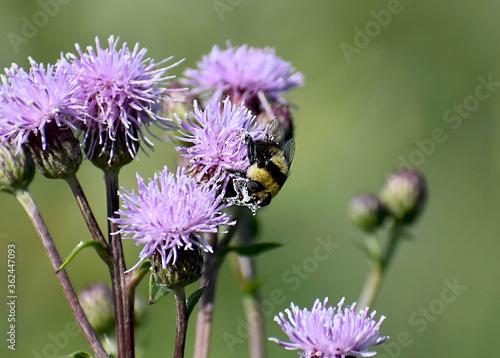 Valokuva bee on thistle