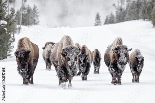 Fotografía American Bison family group in winter