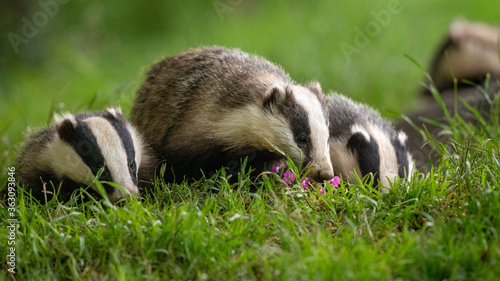 Foto Close-up Of Badgers On Grass