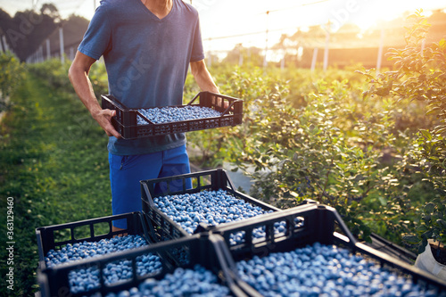 Fotografia Farmer working and picking blueberries on a organic farm - modern business concept
