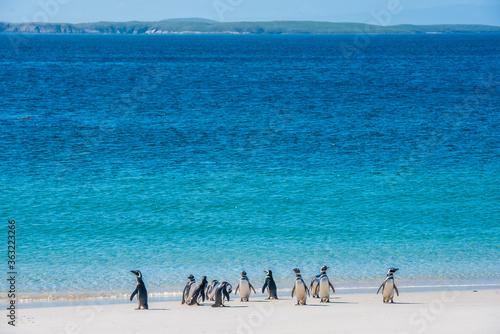 Fototapeta Magellanic penquins on a beach in the Falkland islands