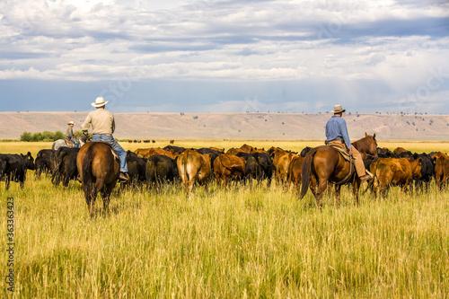 Fotografia, Obraz Paulina, Oregon - 8/7/2008:  Three cowboys moving a herd of cattle to an adjacent pasture on a cattle ranch in eastern Oregon near Paulina, Oregon