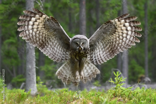 Canvas Print Great Grey Owl wingspread in forest