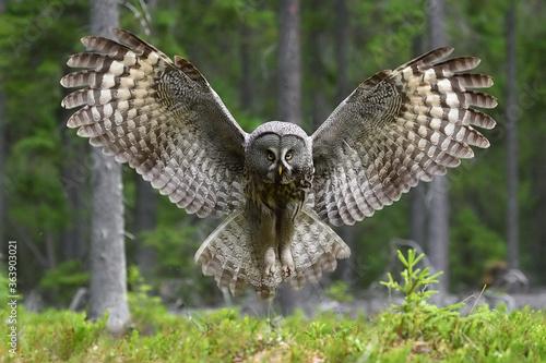 Obraz na plátně Great Grey Owl wingspread in forest