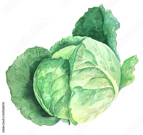 Fotografia, Obraz Green cabbage vintage watercolor botanical illustration isolated on a white back