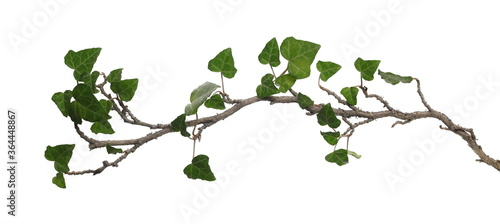 Foto ceylon creeper foliage isolated on white background, clipping path, hedera helix