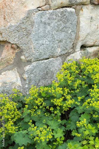 Fotografia Alchemilla mollis Weicher Frauenmantel vor einer Natursteinmauer