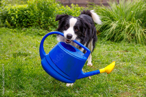 Obraz na płótnie Outdoor portrait of cute smiling dog border collie holding watering can on garden background