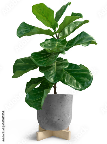 Canvas Print House Plant of Fiddle leaf fig tree in loft pot on white background