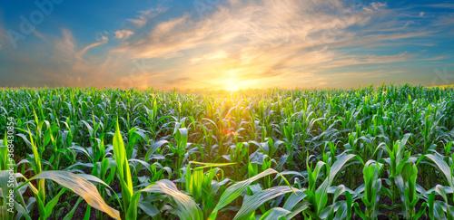 Fotografija Panorama of corn field at sunset