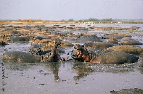Fotografie, Tablou HIPPOPOTAMUS hippopotamus amphibius, MALES FIGHTING, VIRUNGA PARK IN CONGO