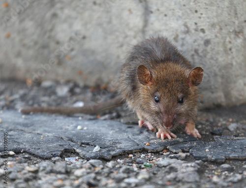 Obraz na plátně A small rat against a gray concrete wall