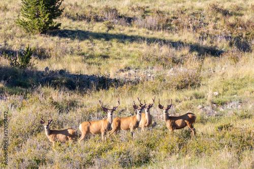 Fototapeta Herd of Buck Mule Deer