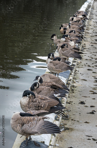 Tablou Canvas Gaggle of Geese on the Canal