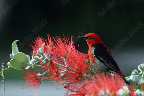 Cuadros en Lienzo red cardinal bird