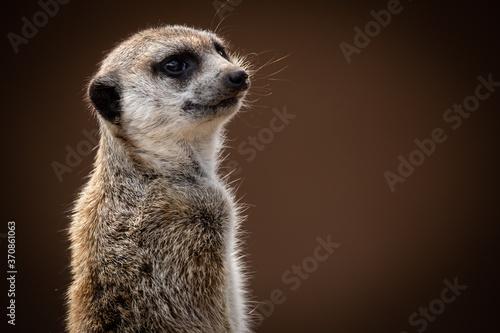 Photo meerkat portrait looking over shoulder