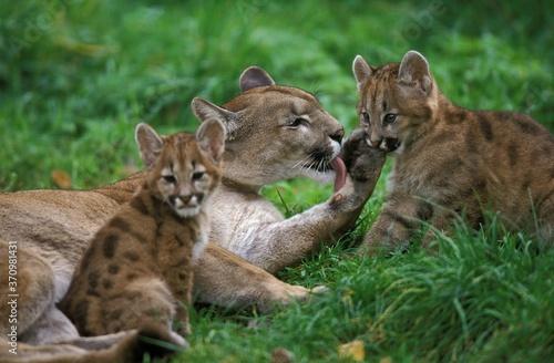 Fotografia, Obraz Cougar, puma concolor, Female with Cub, Licking its Paw