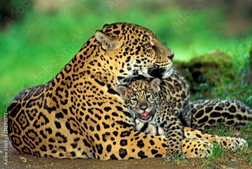 Fototapeta Jaguar, panthera onca, Mother with Cub laying