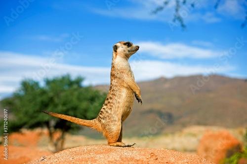 Fotografia, Obraz Meerkat, suricata suricatta, Adult standing on Hind Legs, Looking around, Namibi