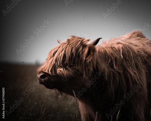 Stampa su Tela Highland Rinder in Sank-Peter-Ording