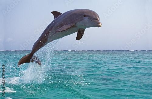 Bottlenose Dolphin, tursiops truncatus, Adult Leaping Fotobehang