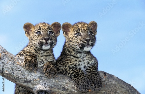Fotografie, Obraz Leopard, panthera pardus, Cub standing on Branch