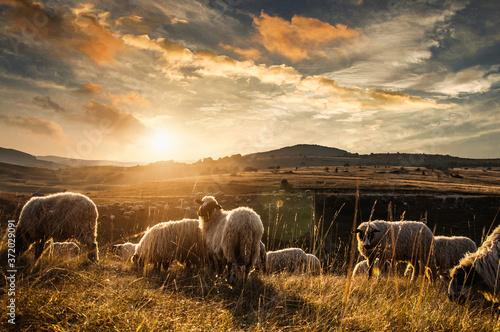 Obraz na płótnie sheep in the field, sheeps, sheeps on nature, nature, sheep