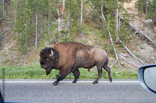 Wallpaper Mural Bison on the road in Yellowstone National Park