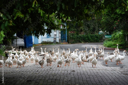 Obraz na plátně Gaggle of Geese walking on a street, during weekend COVID-19 lockdown, Guwahati