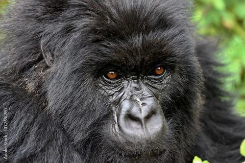Slika na platnu Mountain Gorilla / Gorilla beringei beringei /