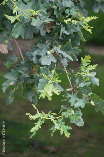 A branch of on oak with green immature acorns